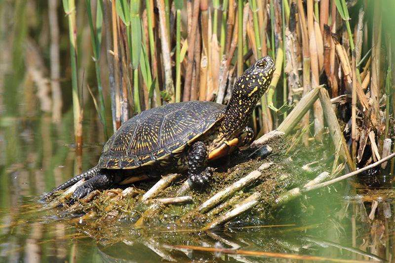 Moerasschildpad Dieren Van Aquazoo H 233 T Familiepark Van