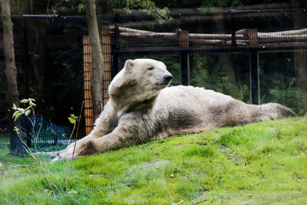 Ijsbeer Dieren Van Aquazoo H 233 T Familiepark Van Friesland