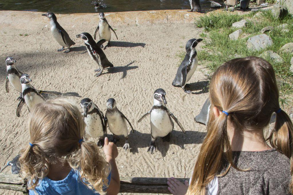 Pingu 239 N Haringhapfestijn Aquazoo Jouw Ontdekkingstocht
