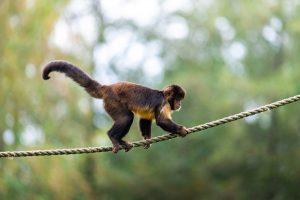 Een Geelborstkapucijn aap klimt over een touw in AquaZoo